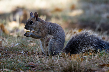 Grey squirrel on the ground feeding on acorns from oak trees near by