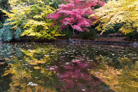beautiful colorful reflections on the pond of autumn trees in a variety of colors with leaves floating on the water surface