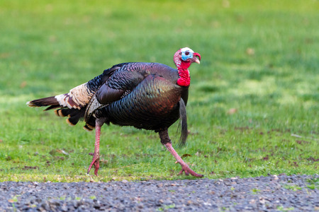 young male tom turkey run with green spring grass at the back