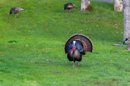adult male tom turkey showing off his colorful feathers on a green spring morning