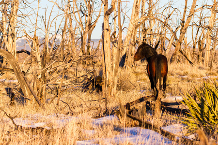 Beautiful healthy wild horse walking on top of the mesa in Mesa Verde National Park. Winter scene with dried grass and dead trees from an old fire. low light from the setting sun adding a warm tone to the image. 免版税图像