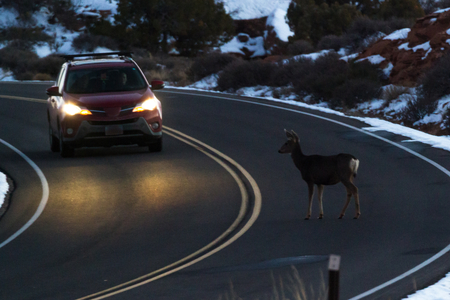 concept of the dangers of driving with wildlife in the road