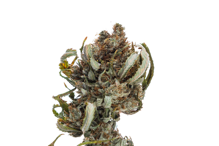 close up of marijuana buds loaded with crystals over a white background