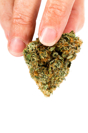 Close up of a hand holding a cannabis bud over a white background