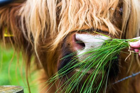 Close up of a large male Scottish Bull being fed fresh grass by hand
