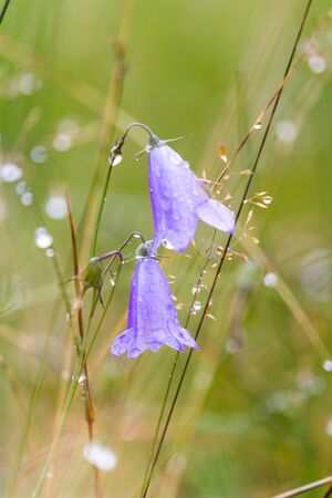 Hare bell or Scottish bluebell in the highlands with fresh raindrops