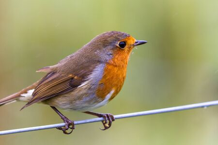 Close up of a European robin with a bit of rain in the Highlands of Scotland