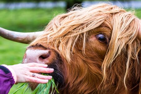 Young Highland bull in fresh green grass in the Scottish Highlands