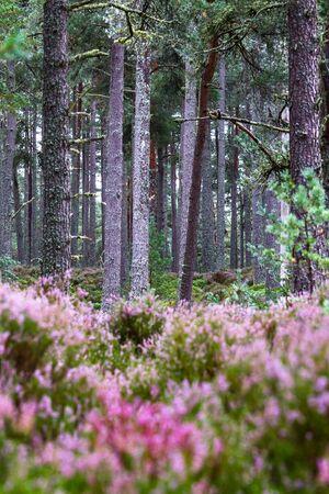 Blühendes Heidekraut aus nächster Nähe bringt Farben in die schottischen Highlands Standard-Bild