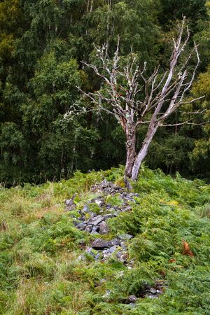Dead tree in the Scottish highlands with rocks and bracken leading up to it