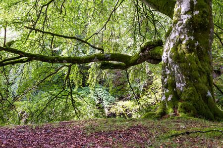 View of a very large tree in the Scottish Highlands with large limbs and knotty texture