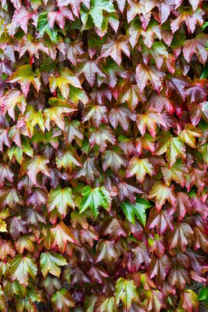 close up of a beautiful Boston Ivi plant with amazing rich autumn colors ranging from green to deep red