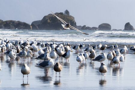 Large colony of sea gulls enjoying a sunny day in Pebble Beach, Crescent City California as they gather along the mouth of Marhoffer creek