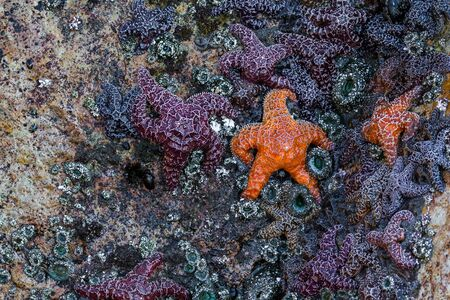 The orange and purple ochre sea stars and some of the most common and beautiful creatures easily found in tidal pools and rocks along the Oregon coast