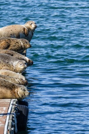 Close up of a happy bunch of earless seals on the docks in Gold Beach Harbor enjoying the warm sunshine. 版權商用圖片
