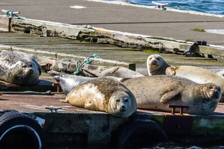 Close up of a happy bunch of earless seals on the docks in Gold Beach Harbor enjoying the warm sunshine.