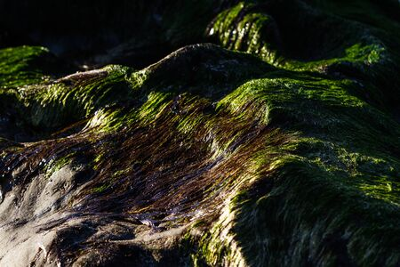 close up of seaweed growing on top of a rock with low sunlight casting shadows and giving it an interesting texture