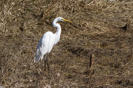 beautiful great white egret on a dry tidal pond filled with dried grass near Hunter Creek in the southern Oregon coast Banque d'images