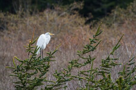 Great white egret perched on a evergreen branch with glowing bright plumage contrasting with the darker background in the southern Oregon coast