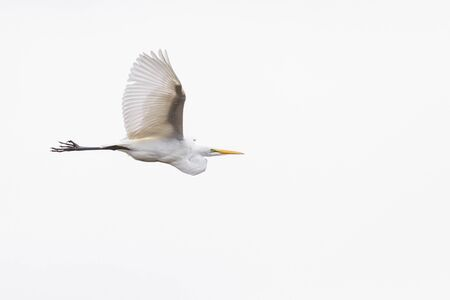 Great white egret flying over a white cloudy sky