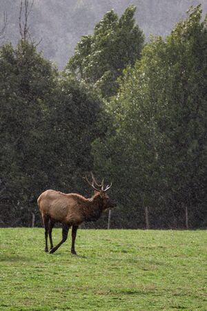 Herd of elk in the southern Oregon coast resting on a green grass pasture under light rain typical of the mild winter weather