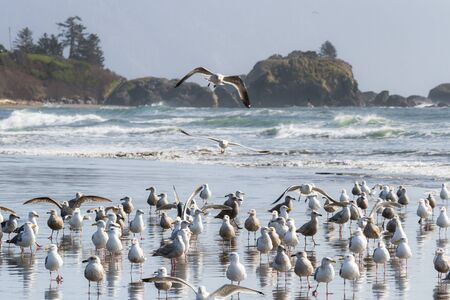 Large colony of sea gulls enjoying a sunny day in Pebble Beach, Crescent City California as they gather along the mouth of Marhoffer creek Banque d'images