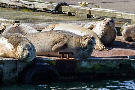 Close up of a happy bunch of earless seals on the docks in Gold Beach Harbor enjoying the warm sunshine. Standard-Bild