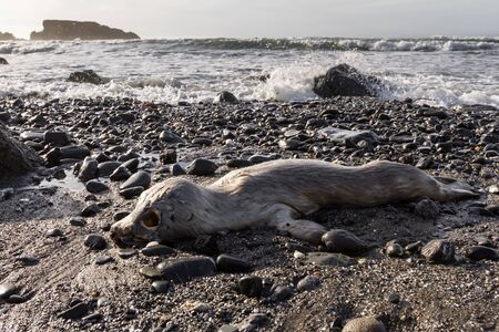 Strong and very emotional image with a dead baby earless seal washed up on the rocky beach in the southern Oregon coast