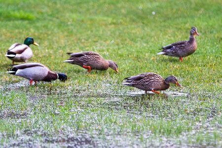 Group of mallard ducks on green grass after a heavy down pour in the Oregon coast Reklamní fotografie