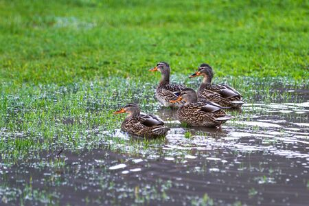 Group of female mallard ducks on green grass after a heavy down pour in the Oregon coast