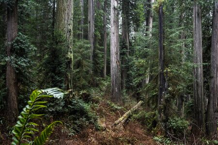 giant redwood trees in a secluded forest just a few miles inland from the southern Oregon Coast
