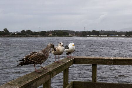 Close up of a group of gulls in the harbor at Crescent City waiting for tourists with snacks