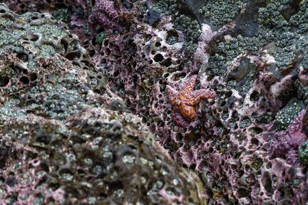Close up of an orange and purple ochre sea stars exposed by the low tides clinging to a rock in the southern Oregon coast 写真素材