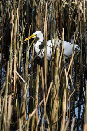 beautiful great white egret with a fish in his beak in a shallow tidal pond near hunter creek in the southern Oregon coast