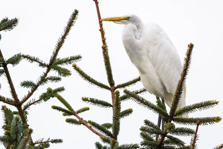 Great white egret perched on a evergreen branch with glowing bright plumage standing out to the dark clouds in the sky