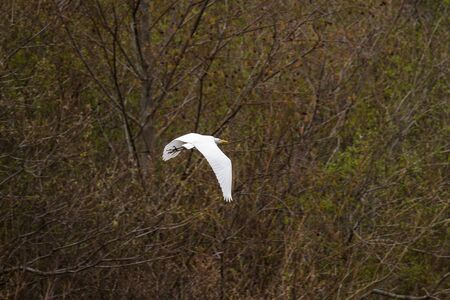 Great white egret flying with early springtime vegetation in the background