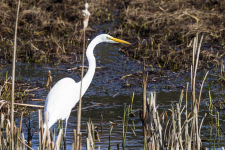 beautiful great white egret looking for fish in a shallow tidal pond near hunter creek in the southern Oregon coast
