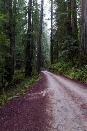 road thru a giant redwood grove in a secluded forest just a few miles inland from the southern Oregon Coast