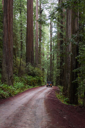 driving  thru a giant redwood grove in a secluded forest just a few miles inland from the southern Oregon Coast Stok Fotoğraf - 152842436