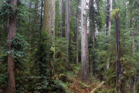 giant redwood trees in a secluded forest just a few miles inland from the southern Oregon Coast Stok Fotoğraf - 152842384