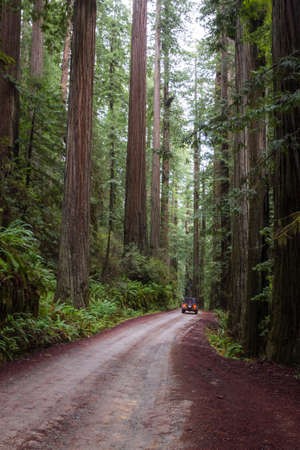 driving  thru a giant redwood grove in a secluded forest just a few miles inland from the southern Oregon Coast