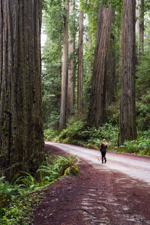 Woman walking her small dog thru a giant red wood forest in the southern Oregon coast Stok Fotoğraf