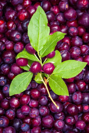 close up of a grouped of freshly picked huckleberries with a peace of the brush with green leaves and berries still attached on top Stok Fotoğraf
