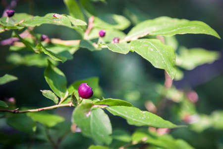 close up of fresh huckleberries on the plant in the mountains of southern Oregon Stok Fotoğraf - 153848833