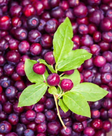 close up of a grouped of freshly picked huckleberries with a peace of the brush with green leaves and berries still attached on top Foto de archivo