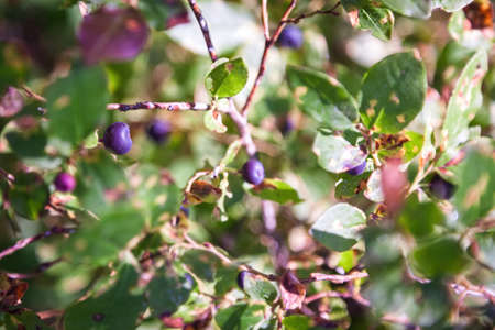 fresh ripe huckleberries on the plants in the forests of southern Oregon