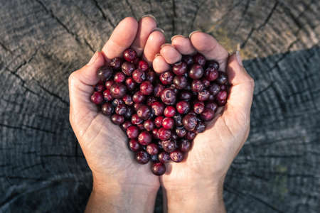 close up of a woman'ss hands holding a bunch of fresh ripe huckleberries in the shape of a heart over a rustic wooden background Stok Fotoğraf - 153848970