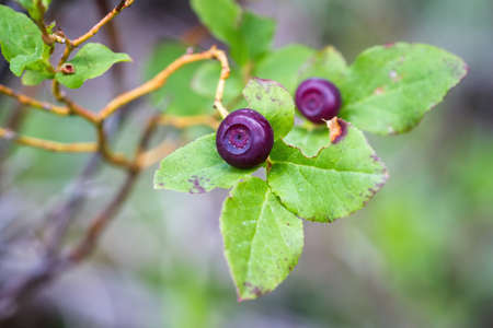 fresh huckleberries in the southern Oregon cascades on the plants using a macro lens for close up detail and a soft background Stok Fotoğraf - 153849079