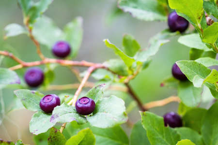 fresh huckleberries in the southern Oregon cascades on the plants using a macro lens for close up detail and a soft background