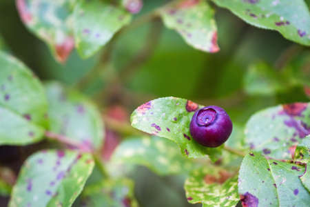 close up of fresh huckleberries on the plant in the mountains of southern Oregon Stok Fotoğraf - 154166390